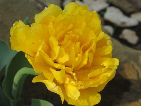 выращиванием красивые тюльпаны