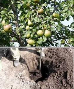 как выращивать груши
