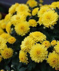 хризантемы для клумбы