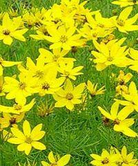 кореопсис мутовчатый для цветущей клумбы