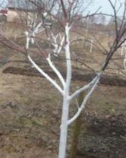 побелка стволов деревьев