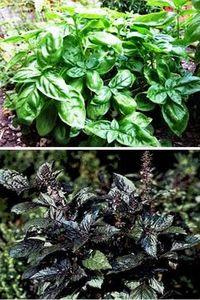как выращивать базилик