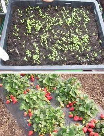 Вырастить из семян клубнику