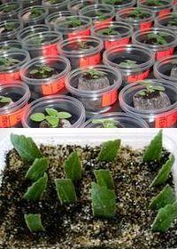 как размножать глоксинии