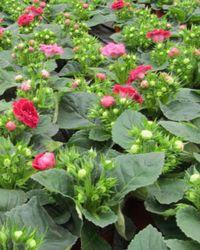 как развести цветы глоксинии