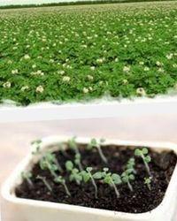 картофель из семян, как вырастить