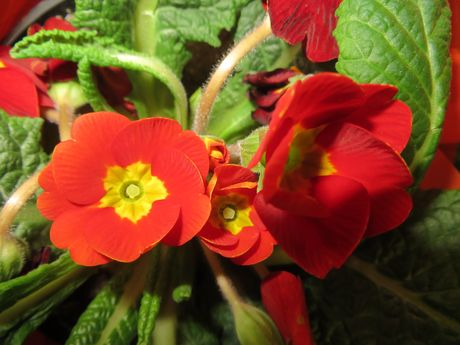 садовая примула