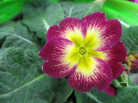 как выращивать примулу