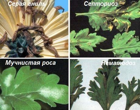 борьба с болезнями хризантем