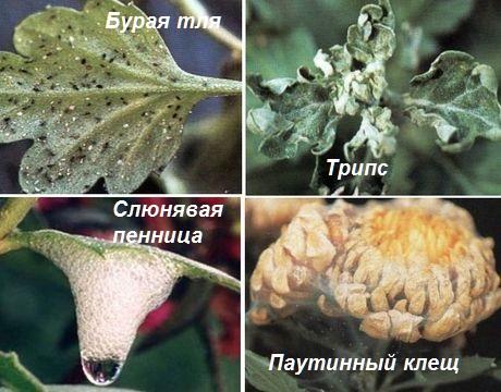 борьба с вредителями хризантем