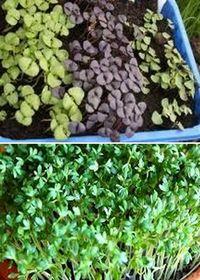 как посадить и растить базилик