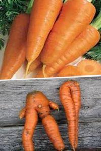 выращивание здоровой моркови