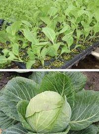 капуста, выращивание начинающим садоводам