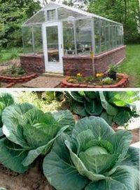 как вырастить капусту в теплице