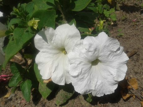 красавица петуния