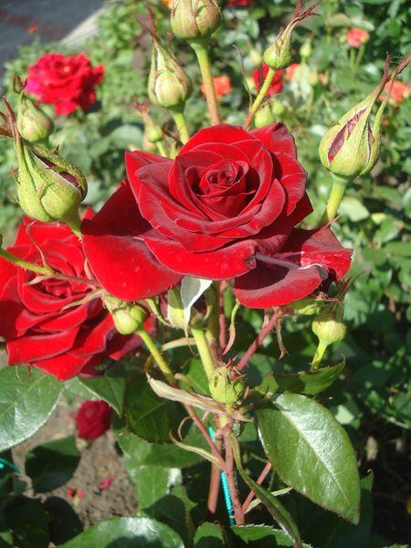 розы в дачном ландшафте
