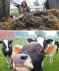 как применять коровий навоз