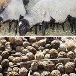 как применять овечий навоз