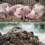как применять свиной навоз