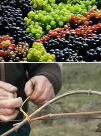 виноград, уход