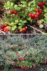 как выращивать садовую бруснику
