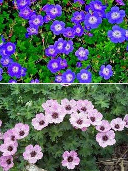 герань многолетние цветы