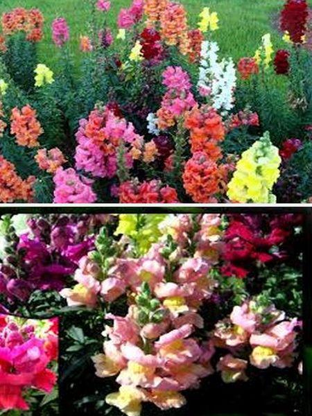 львиный зев многолетние цветы