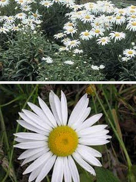 нивяник многолетний цветок