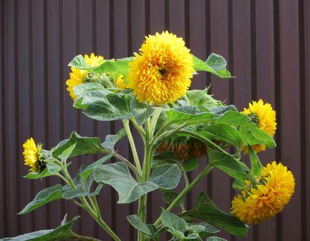 как выращивать декоративный подсолнух