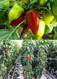 как выращивать болгарский перец