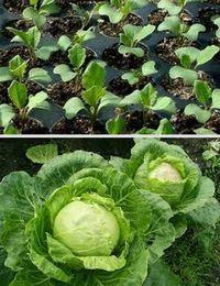 как вырастить раннюю капусту