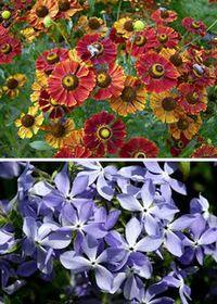 цветы для клумб