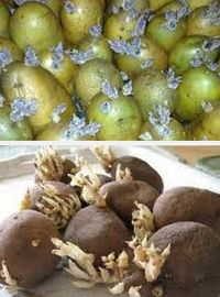 как проращивать картофель