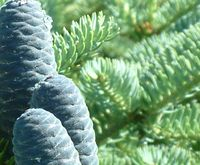 дерево пихта