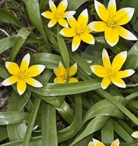 ботанический вид тюльпана