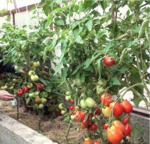 обрезка помидор в теплице