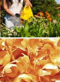 как применять луковую шелуху на огороде