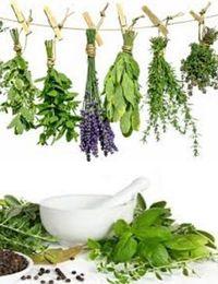 как выращивать травы для приправ