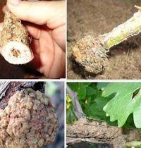 болезни винограда - бактериальный рак