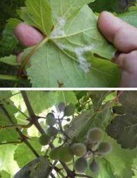 болезни винограда - ложная мучнистая роса