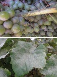 болезни винограда - настоящая мучнистая роса