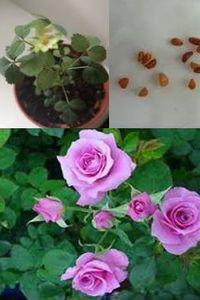 розы из семян, как вырастить