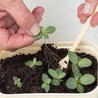 эустома - комнатное растение