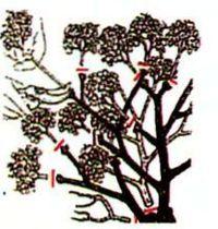 Гортензия метельчатая в саду