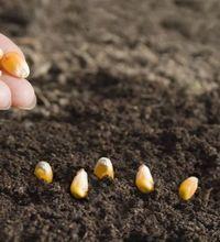 выращивание кукурузы на даче