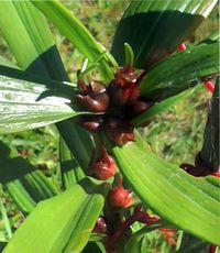 размножение лилии бульбочками осенью