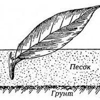 способы размножения флоксов