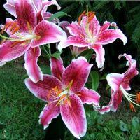как ухаживать за лилиями весной