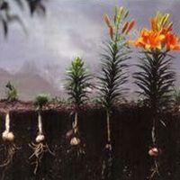 уход за лилиями весной