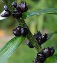 размножение лилий и посадка